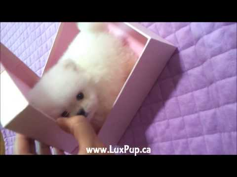 LuxPup Teacup White Pomeranian