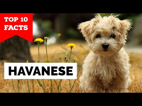Havanese  Top 10 Facts