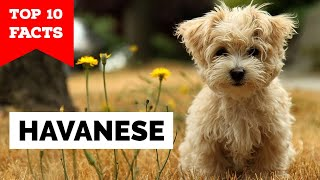 Havanese  Top 10 Facts