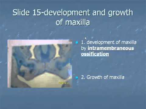 Slide 15: Development and growth of maxilla
