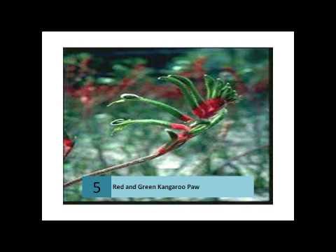 Red and Green Kangaroo Paws