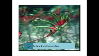 Red and Green Kangaroo Paws