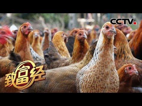 《致富经》 两个门外汉奇招养鸡 每只效益600元年入上千万 20190719 | CCTV农业