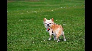 чихуахуа разновидности, видео с выставки собак в Великом Новгороде