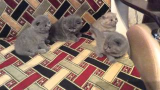 Британские котята с родословной 24 дня
