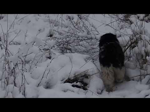 BARSIK - Kurilian Bobtail