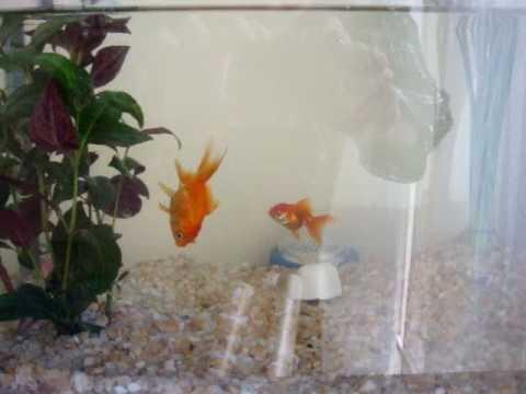 Goldfish Sleeping (swimming) Vertically