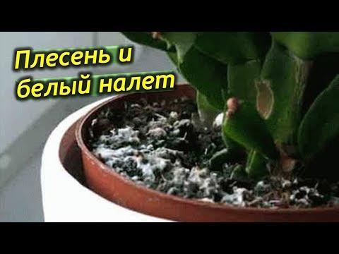 Как лечить комнатные растения от белого налета
