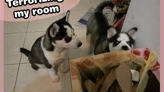 Terrorizing My Room -siberian Husky Pups