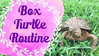 Daily Box Turtle Care Routine | A Day With Koa