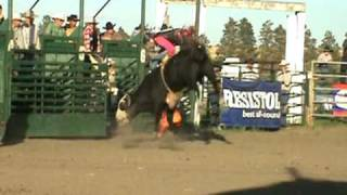 Rodeo Bucking Bulls For Sale, Bucking Bull Semen - 609