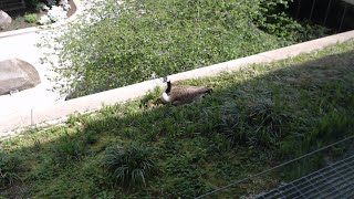 National Geographic HQ Goose Nest Cam Live   National Geographic