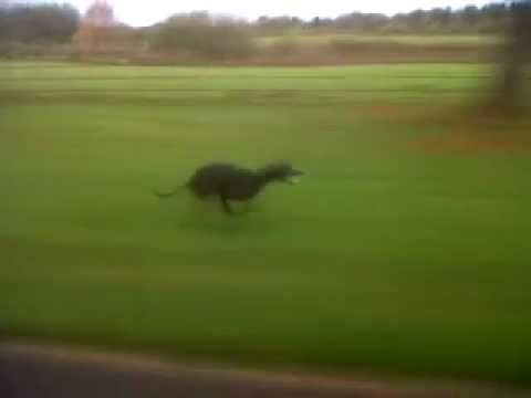 very fast dog Whippet clocks 40mph next to landrover ...