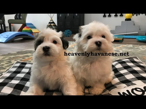 Bringing Home Your New Puppy,  Heavenly Havanese Recommends...