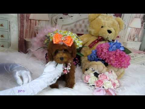 toy teacup teddybear poodle #482