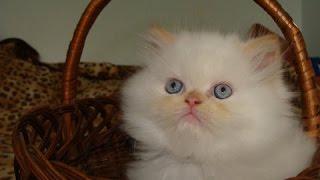 Красивые кошки! Гималайские кошки - Himalayan cats