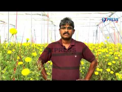 Marigold Farming Techniques by Farmer Narsimha Rao | Padi