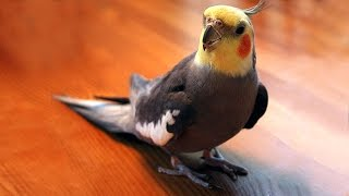 Мелодия для попугая корелла. Голоса птиц