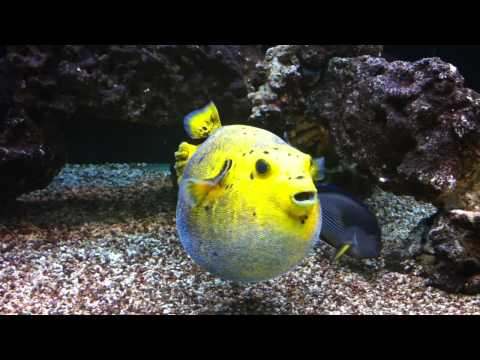Golden Puffer Puffed Up