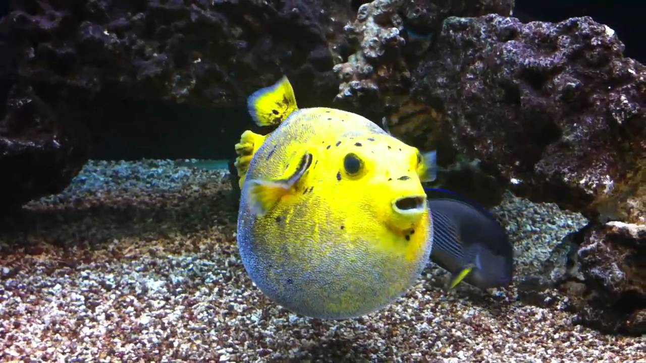 Golden puffer puffed up youtube for Puffer fish puffing