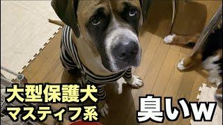 大型マスティフ系保護犬・屁こくな!【74 76日目】