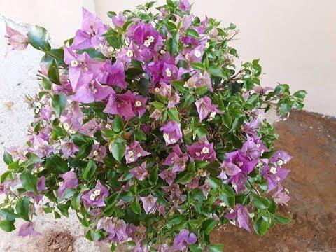 Top bonsai da flor bouganvillea primavera saibam como.
