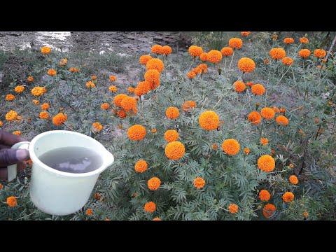 गेंदे के पौधे से ज्यादा फूल पाने का सीक्रेट कोई भी नहीं बताएगा