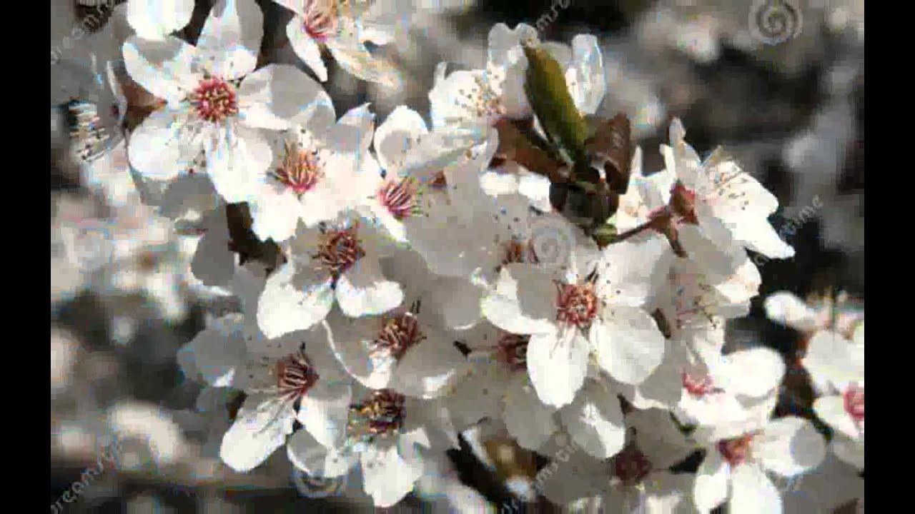 White Plum Blossom Images Himiecaba Youtube