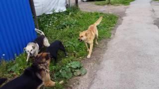нападение собаки бродячей