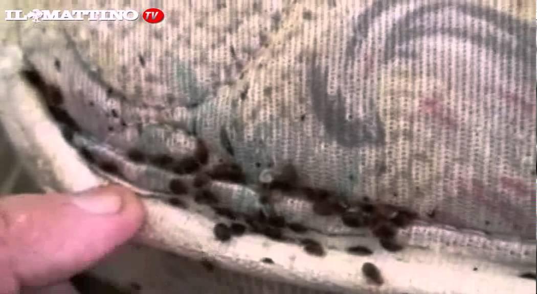 SGRADEVOLI OSPITI - Le cimici da letto, come combatterle - YouTube