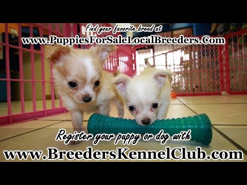 LONG HAIR CHIHUAHUA PUPPIES FOR SALE IN GA LOCAL BREEDERS