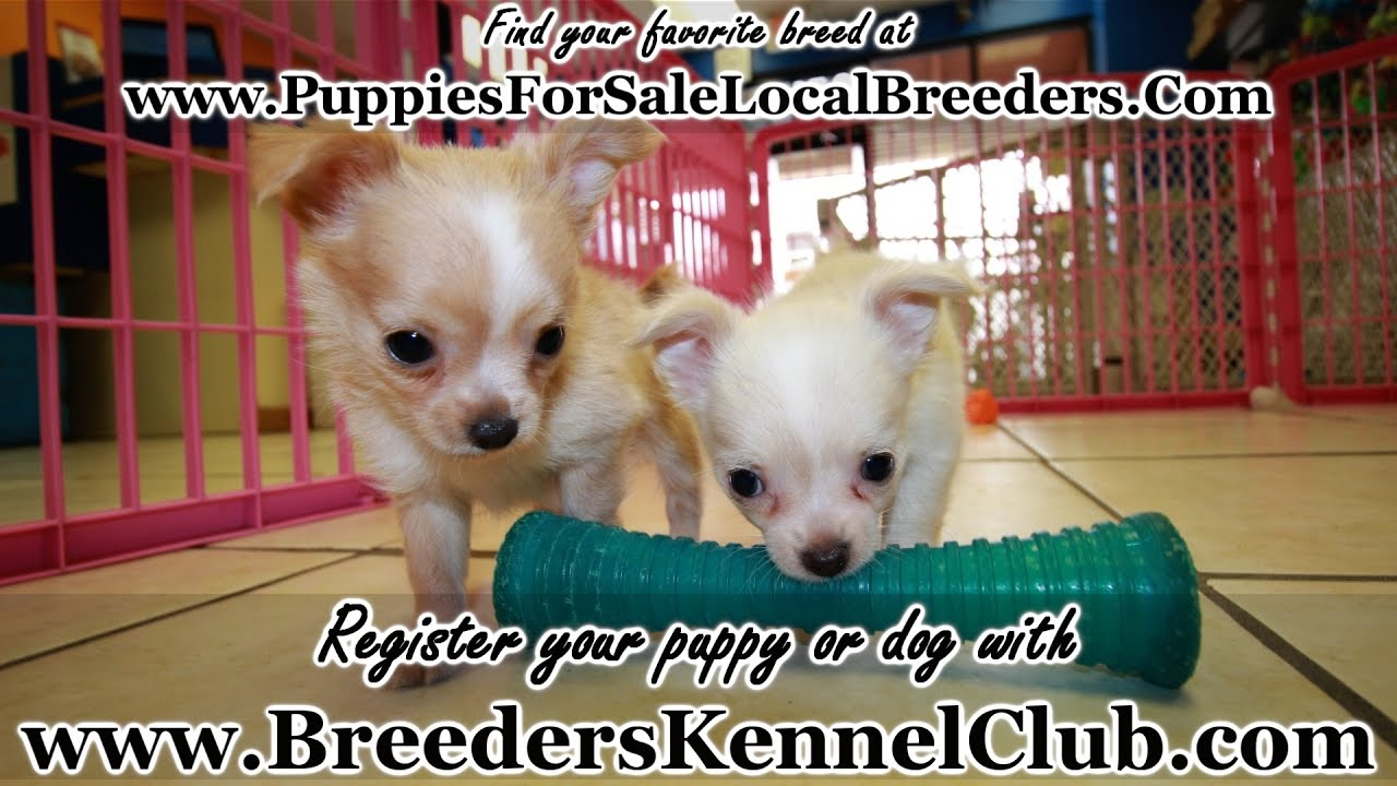 Long Hair Chihuahua Puppies For Sale In Ga Local Breeders Youtube