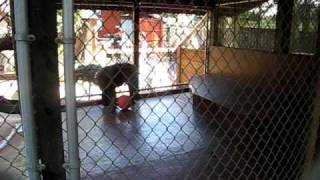monkey throws poop at screaming girl!!!!
