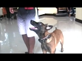 Young Puppy learns to Heel backwards for future protection skills!