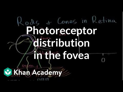 Photoreceptor Distribution In The Fovea | Processing The Environment | MCAT | Khan Academy
