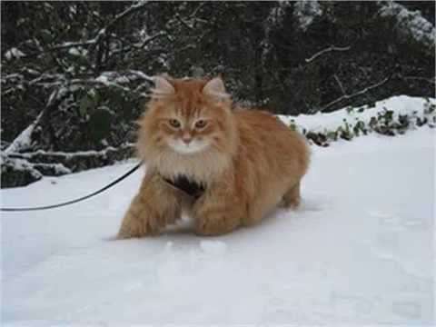 Siberian Forest Cat waterproof semi longhaircats