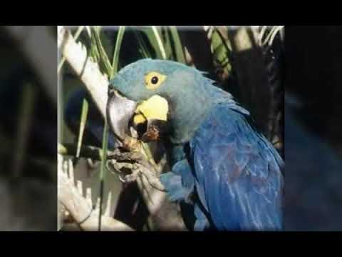 Серо-голубой гиацинтовый ара! Читать описание!