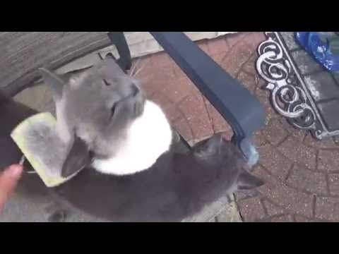 Cute Russian Blue and Siamese Girls Cats grooming time