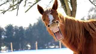 FUNNY HORSES ★ Funny Horse Videos 2015 🐴 (HD) [Funny Pets]