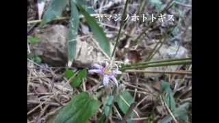 20140923 龍の口山にもホトトギスが咲きました