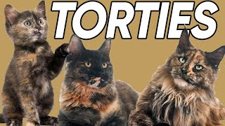 5 Terrific Facts About Tortoiseshell Cats!