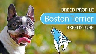 Boston Terrier Breed, Temperament & Training