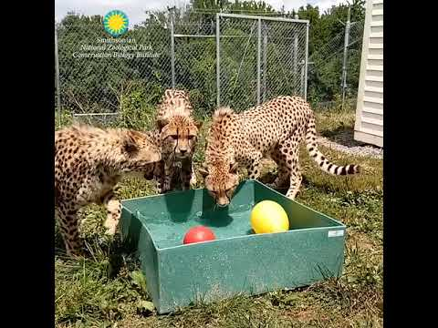 Enrichment at the Smithsonian Conservation Biology Institute