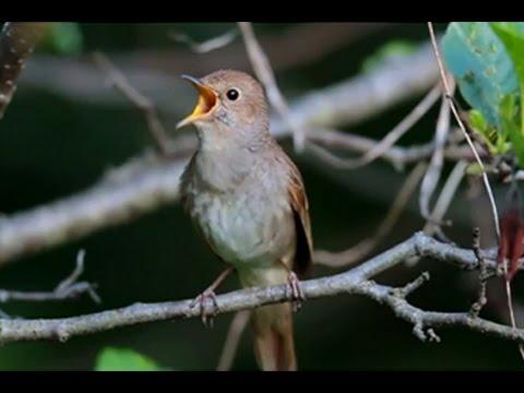 Burung Master : Sikatan Londo (Nightingale)
