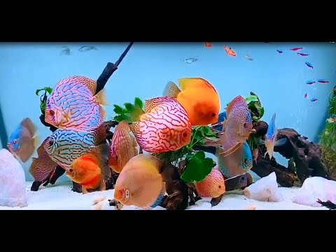 The Amazing Discus Tank Owned By Marco Marcelli