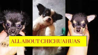 Chihuahua dog breed full details| playing with dog pups| all type of chihuahuas in one video