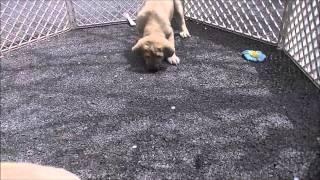 稀少犬スパニッシュ・マスティフの情報はこちらから http://www.masaki-...