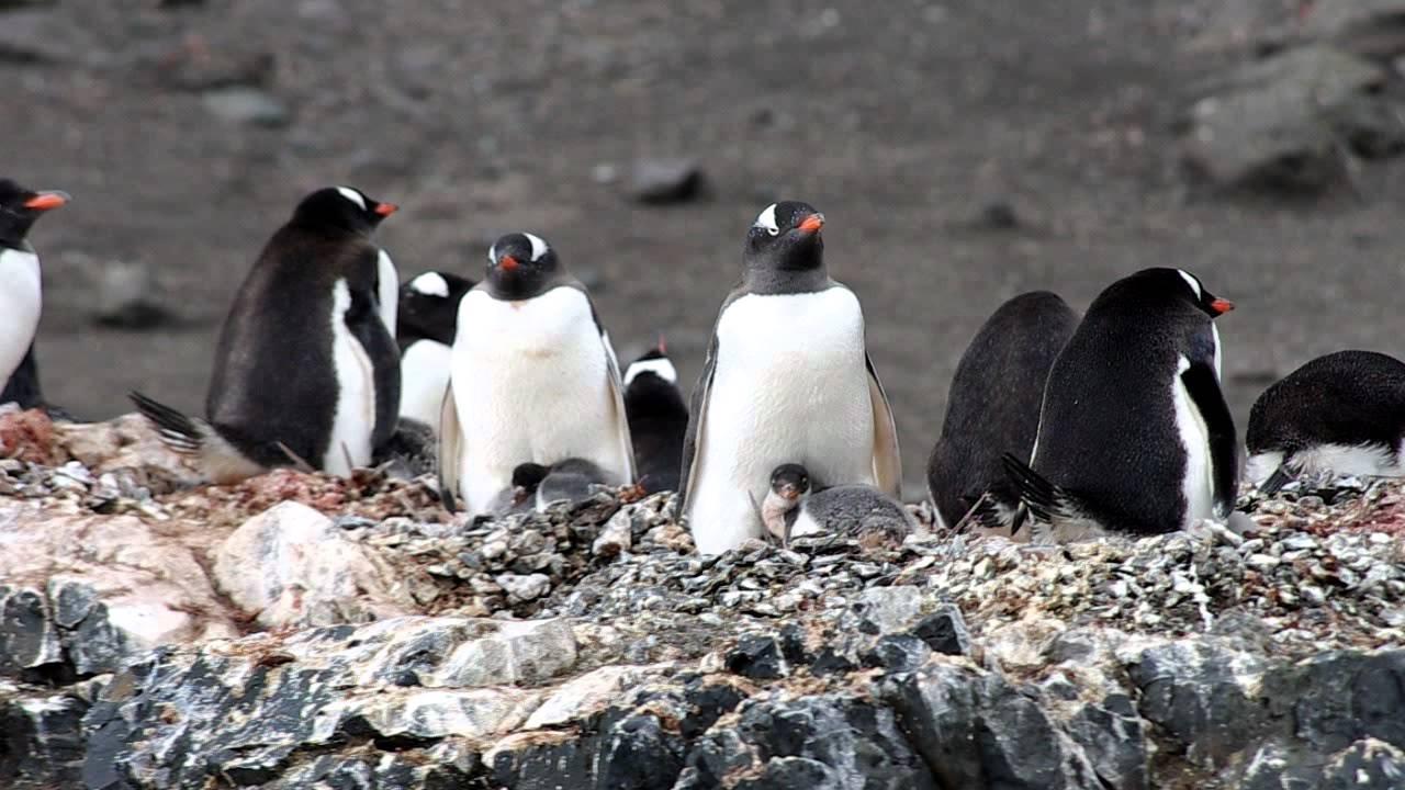 Baby gentoo penguin - YouTube