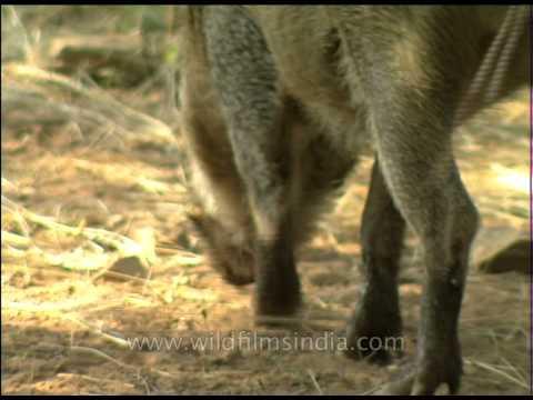 Wild boar rubbing its back against a tree, Sariska!