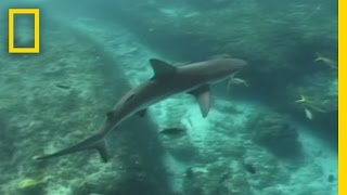 Lemon Sharks | National Geographic